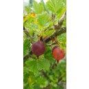 Rote Stachelbeeren Fruchtaufstrich