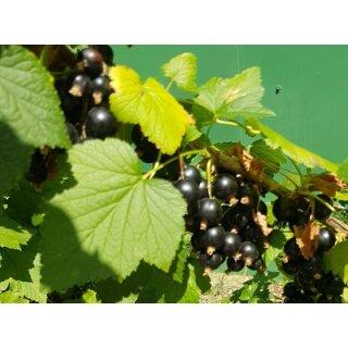 Schwarzes Johannisbeeren Fruchtaufstrich 53 ml